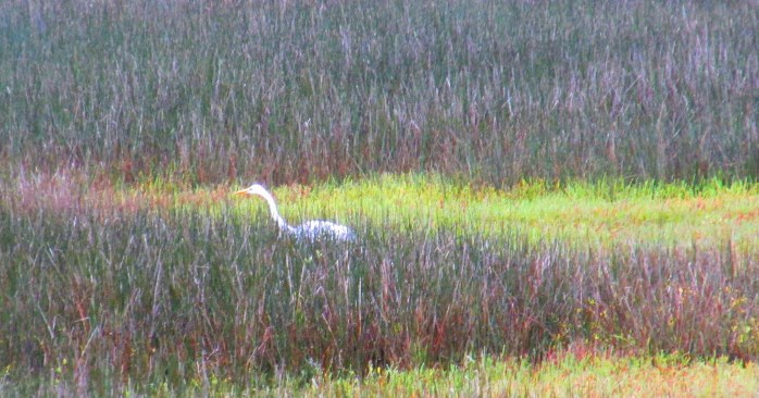 great egret hunting, Clam Creek marsh, Sept. 2013