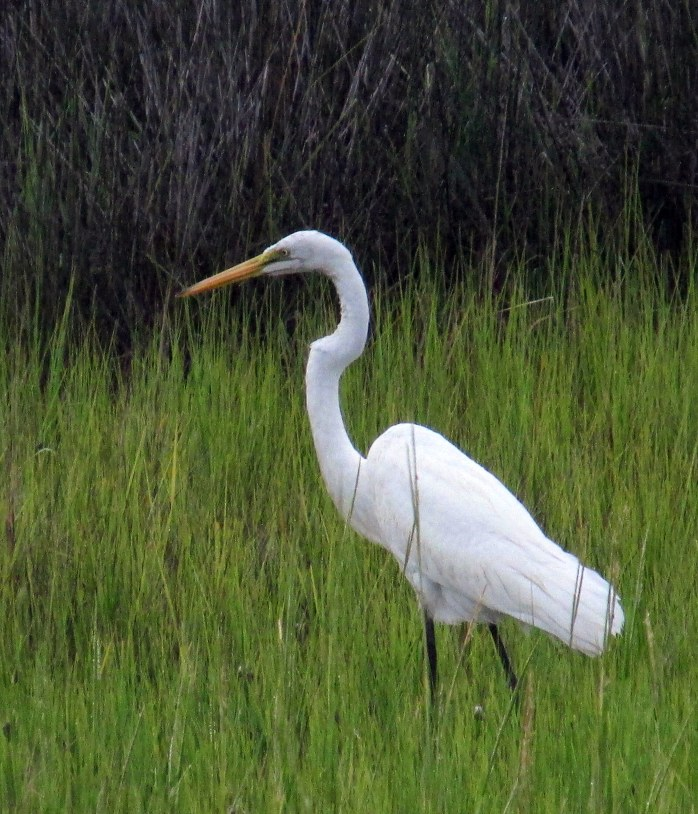 great egret, Clam Creek marsh, Sept. 2013