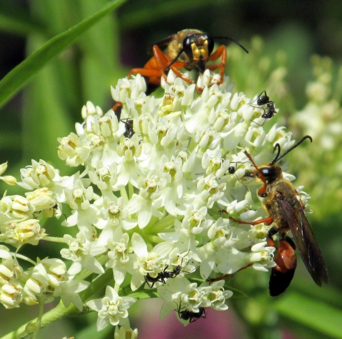 great golden digger wasps and ants on 'Ice Ballet' asclepias, today