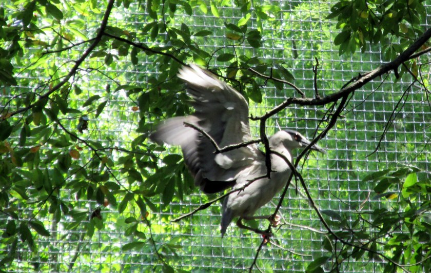 heron landing in aviary