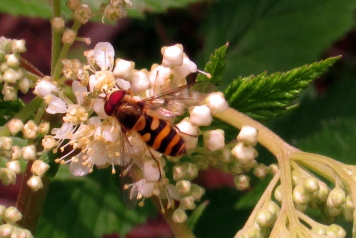 Syrphid syrphini (genera unknown - hoverfly) on filipendula, July 2014