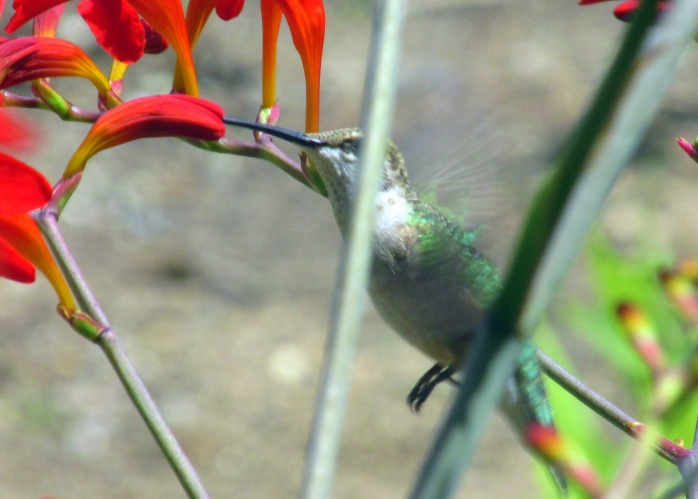 hummingbird at crocosmia, July 2014