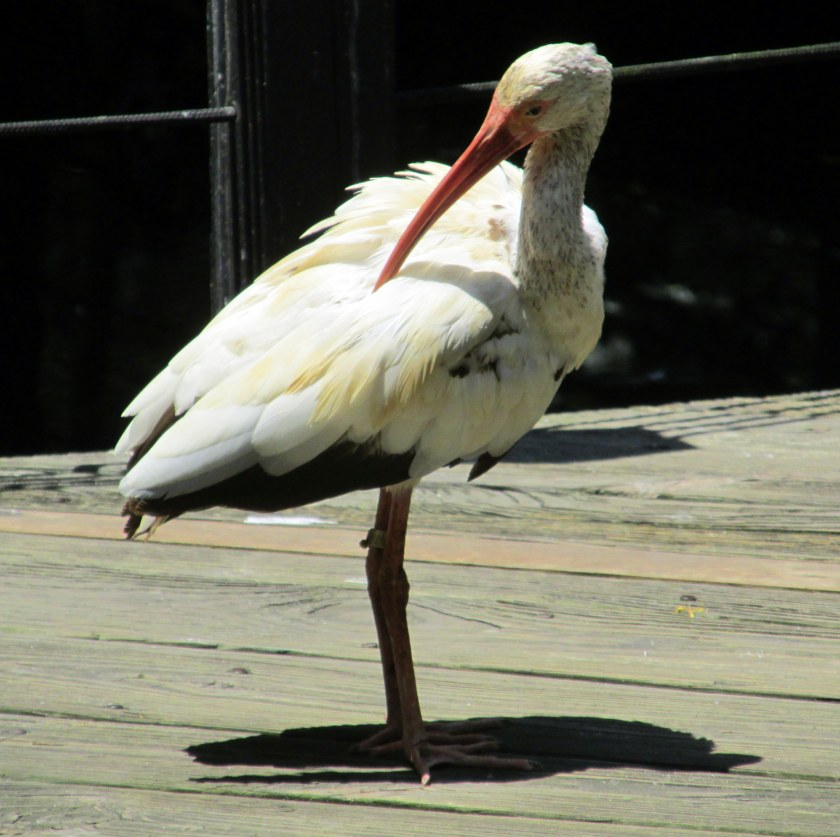 ibis in aviary