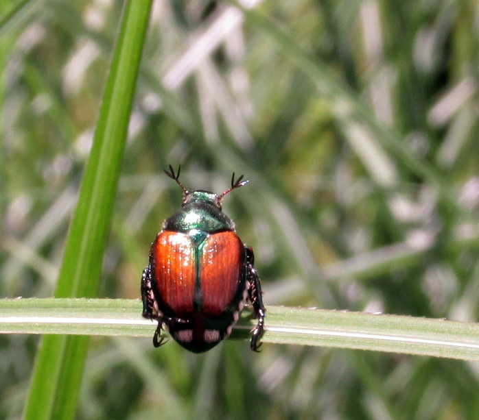 Japanese beetle on grass, July 2014