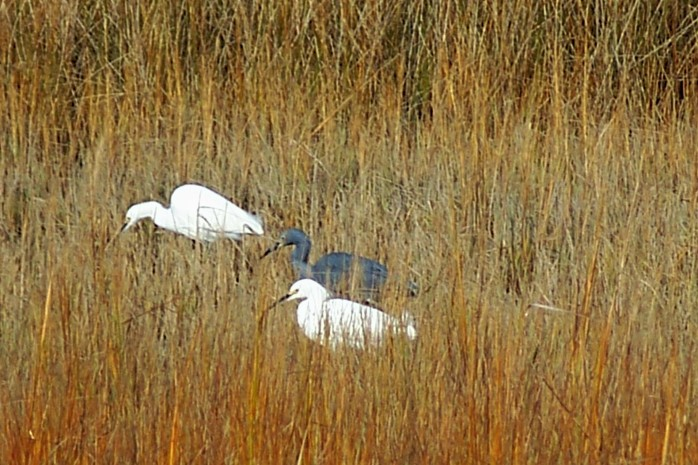 snowy egrets and little blue heron, Clam Creek marsh, Dec. 2010