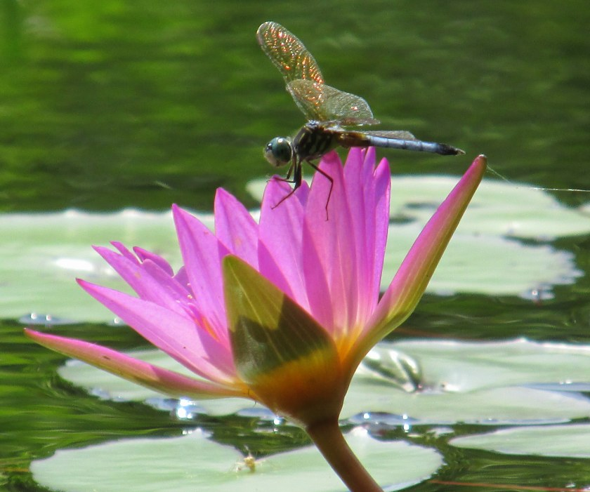lavender waterlily with dragonfly