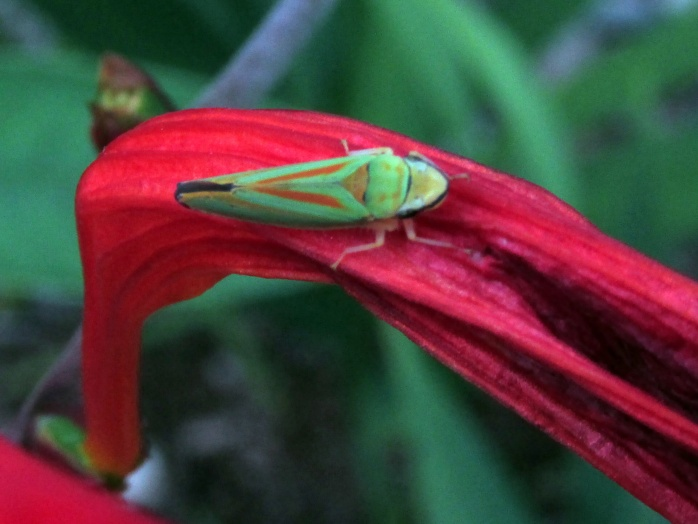 leaf hopper (Graphocephala) on crocosmia, July 2014