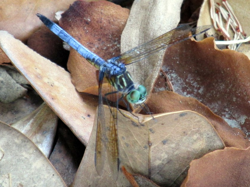 light blue and green dragonfly