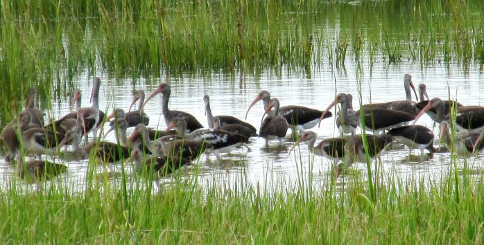 lots of immature white ibis, causeway marsh, Sept. 2013