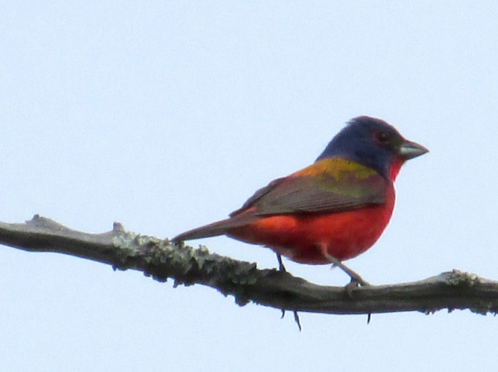 male painted bunting, Clam Creek marsh, June 2014