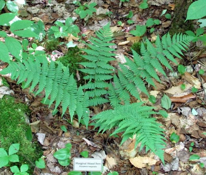 marginal wood fern with label