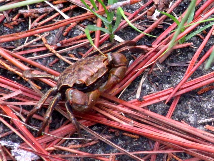 marsh crab (Sesarma Cinereum) at Clam Creek marsh, Sept. 2013