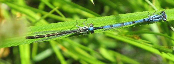 mating Enallagma (American Bluets) damselflies, July 2014