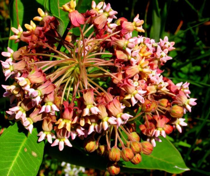 Asclepias syriaca (milkweed) bloom