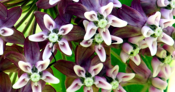 Asclepias syriaca (milkweed), close