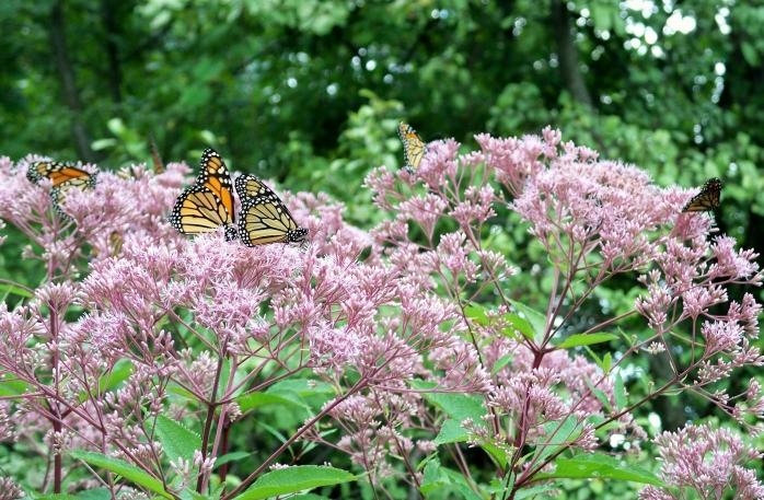 monarch butterflies all over Joe Pye Weed, Aug. 2012