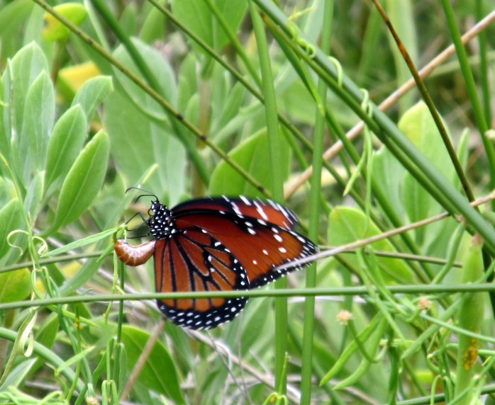 monarch butterfly, Clam Creek marsh, June 2014