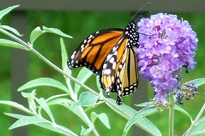 monarch on buddleia, Aug. 2011