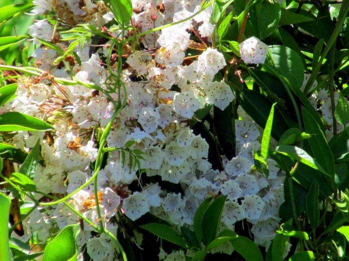 Kalmia latifolia (mountain laurel) in bloom