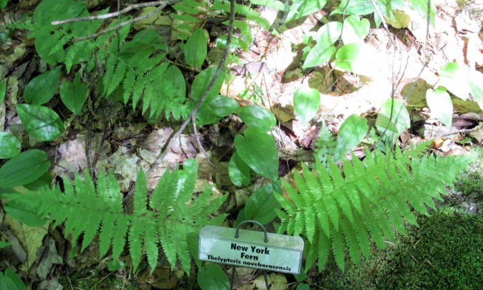 New York fern with label
