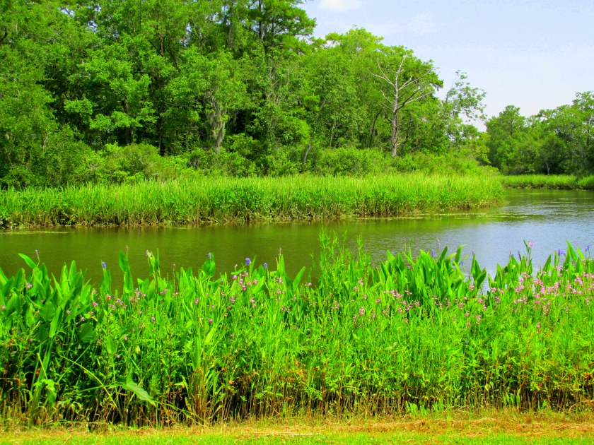 obedient plant and pickerel along Waccamaw River