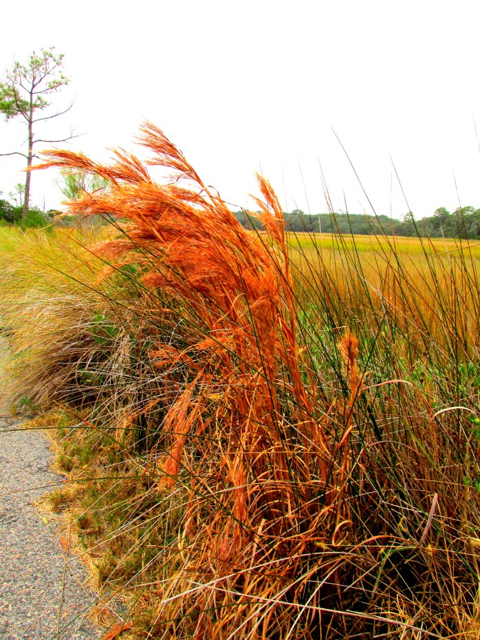 orange grasses, Clam Creek marsh, Dec. 2013