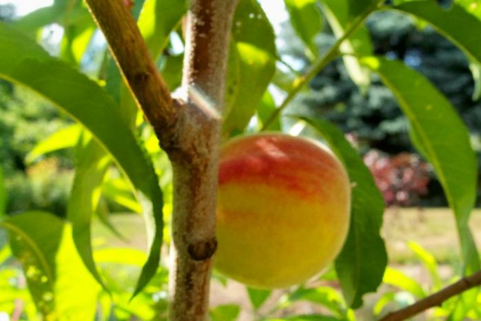 peach, Aug. 2012