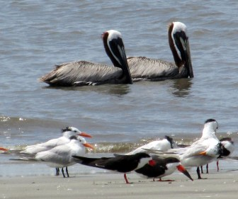 pelicans, terns, skimmers - south end, Jekyll Island