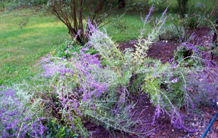 perovskia (Russian sage) in rain, Sept. 2011