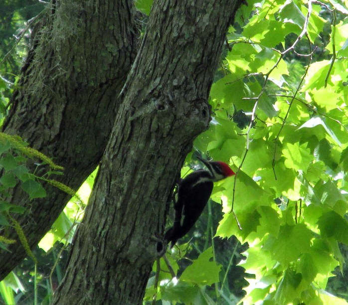 pileated woodpecker along trail