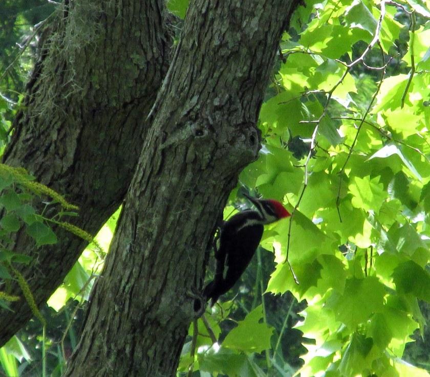 pileated woodpecker along trail