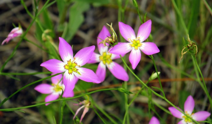 pink flowers, Clam Creek marsh, June 2014