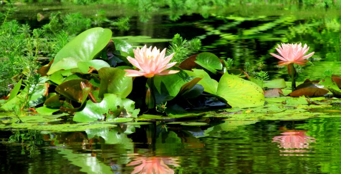 pink waterlilies and green foliage