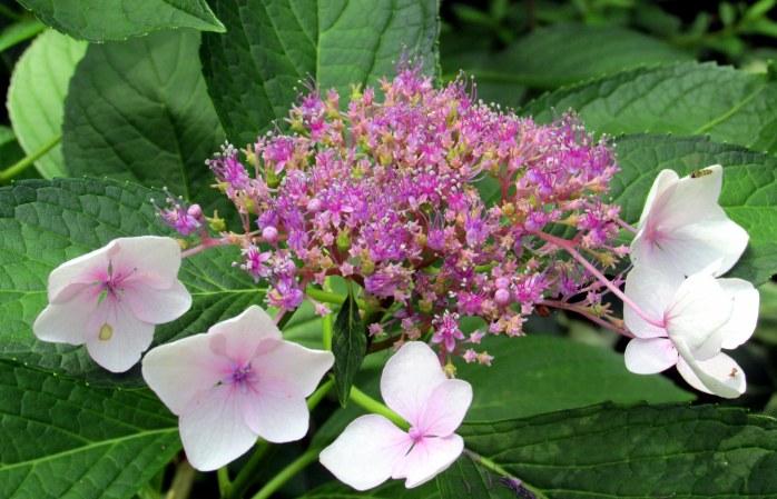 purple lacecap hydrangea