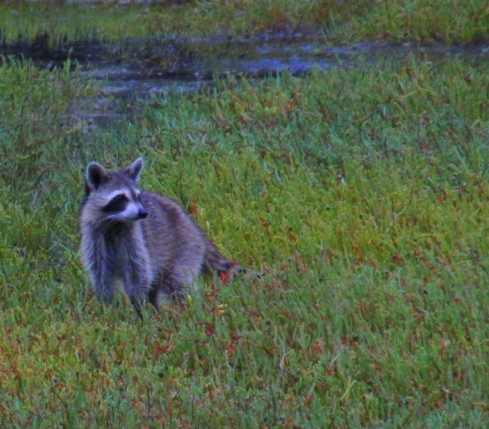 raccoon mom waiting, in Clam Creek marsh, Sept. 2013