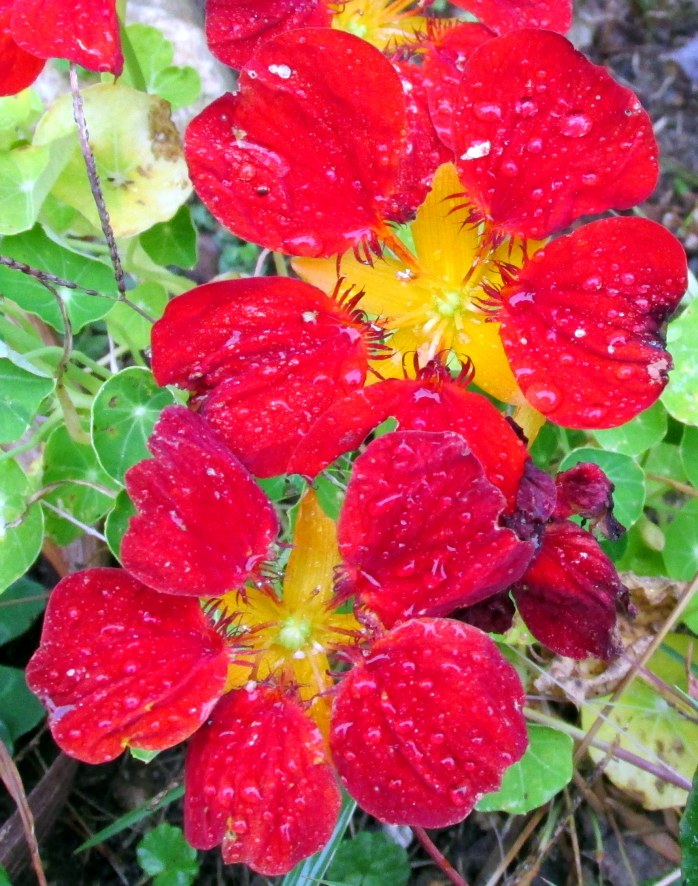 nasturtium after rain, Oct. 2013