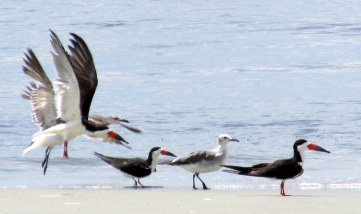 skimmers, gulls, south end - Jekyll Island