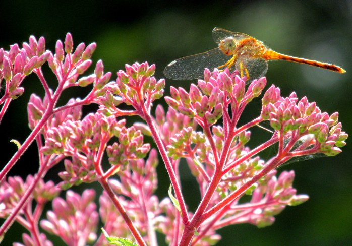 meadowhawk on Joe Pye Weed, Aug. 2013