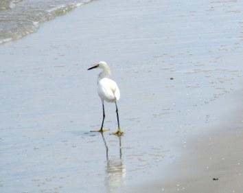 snowy egret - St Andrews, Jekyll Island