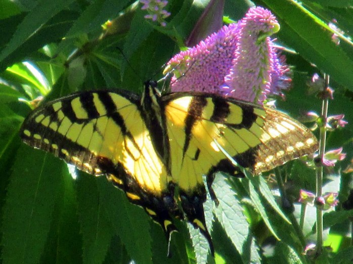 swallowtail on veronicastrum, July 2013