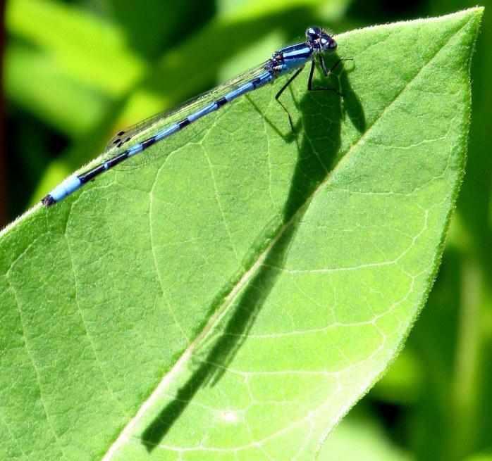 Enallagma sp. (American  Bluet) damselfly