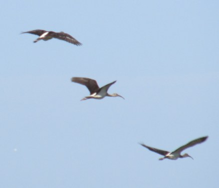 woodstorks in flight, Jekyll Island