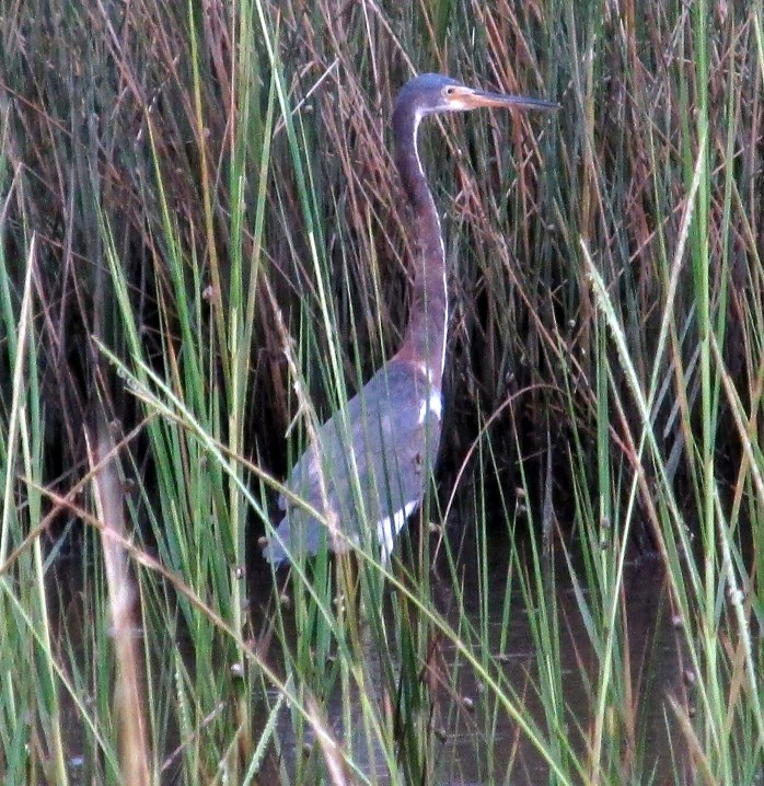 tri-coloured heron in grasses, Clam Creek marsh, Sept. 2013