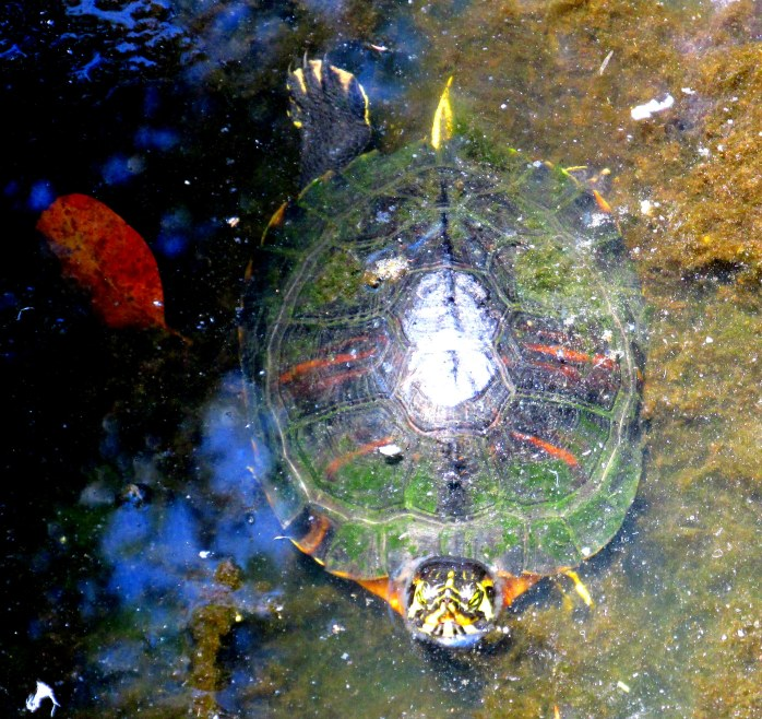turtle in water (aviary)