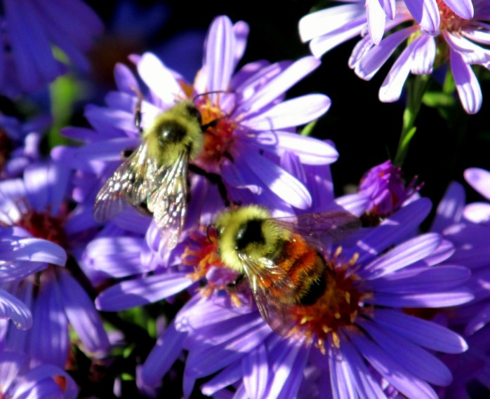 bumblebees on Blue Bird aster, Oct 2013