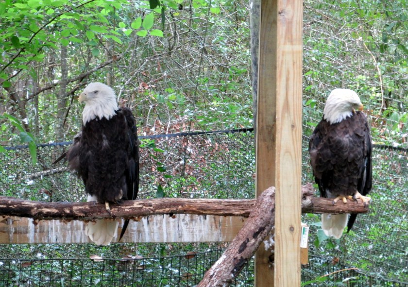 two eagles (injured)