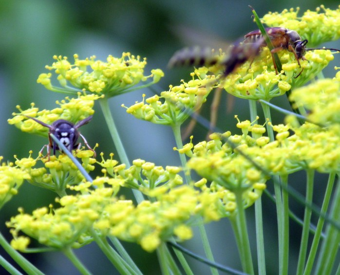 wasps and bees in fennel, July 2013