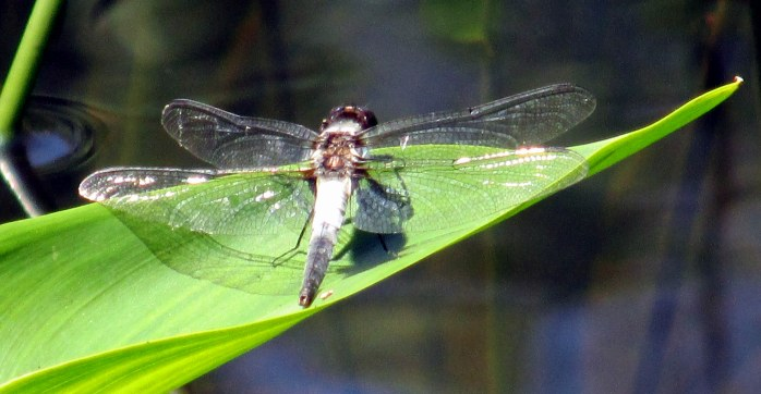 un ID'd dragonfly by pond