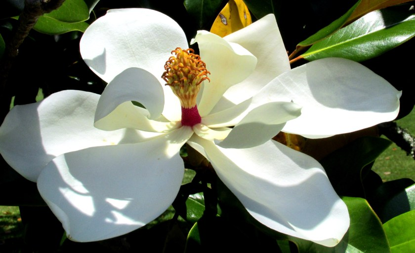 white magnolia bloom