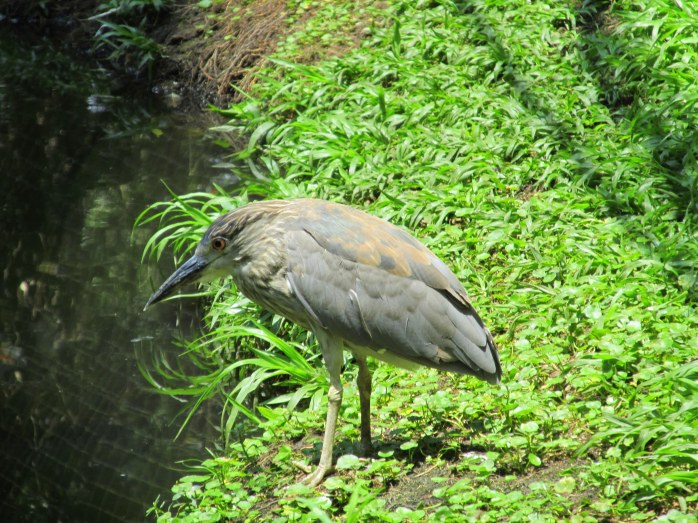 young black-crowned night heron (aviary)